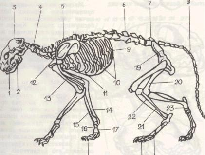Скелет кошки состоит из черепа